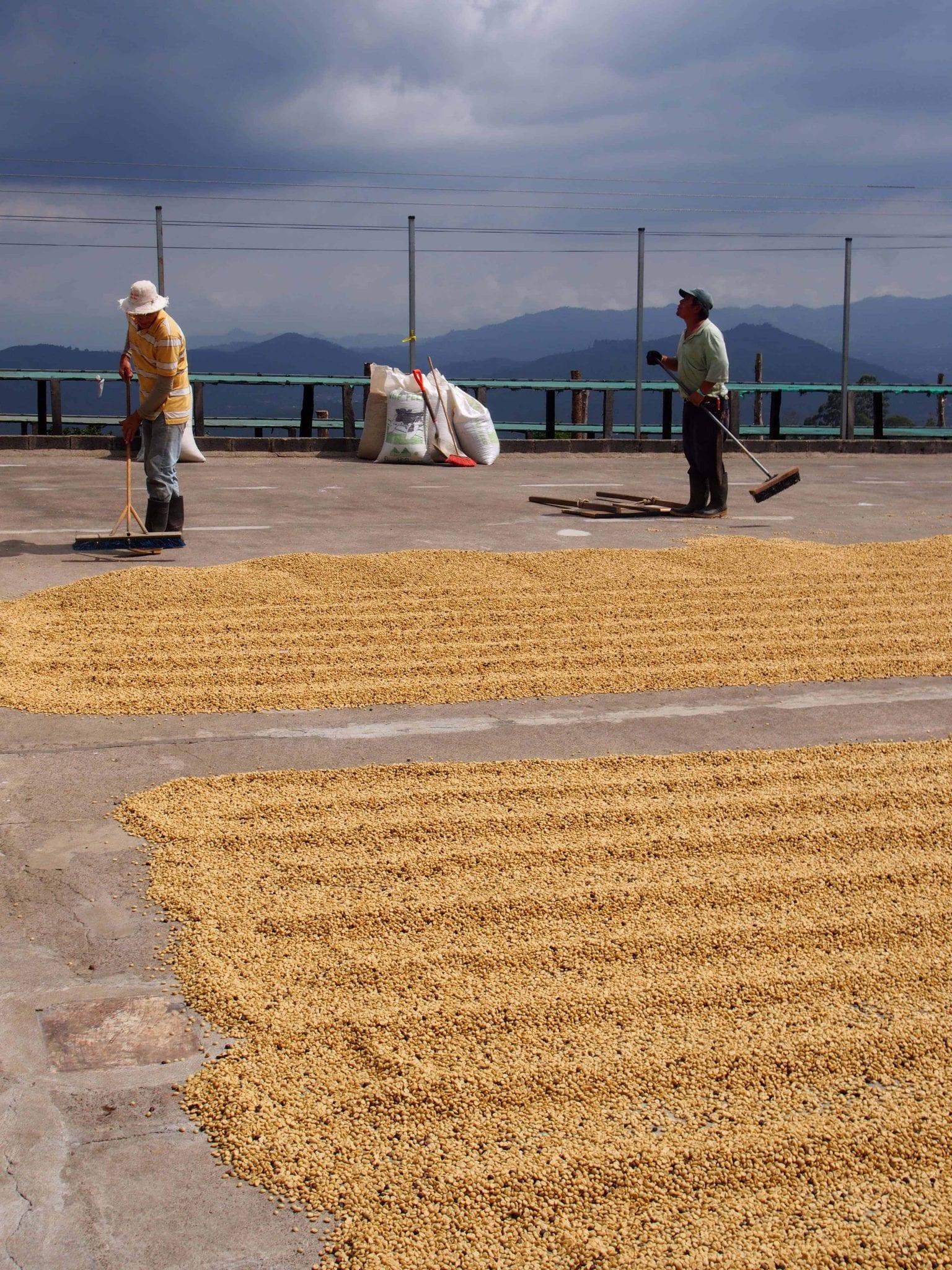 Café honey secándose en planchones de concreto