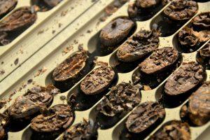 cacao cut test
