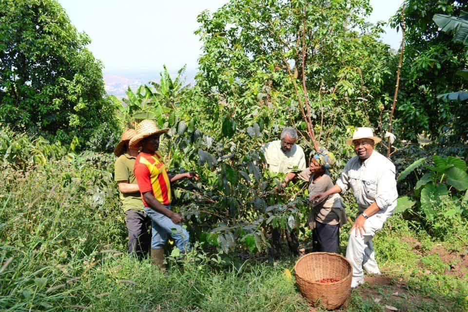 cultivando cafe en camerun