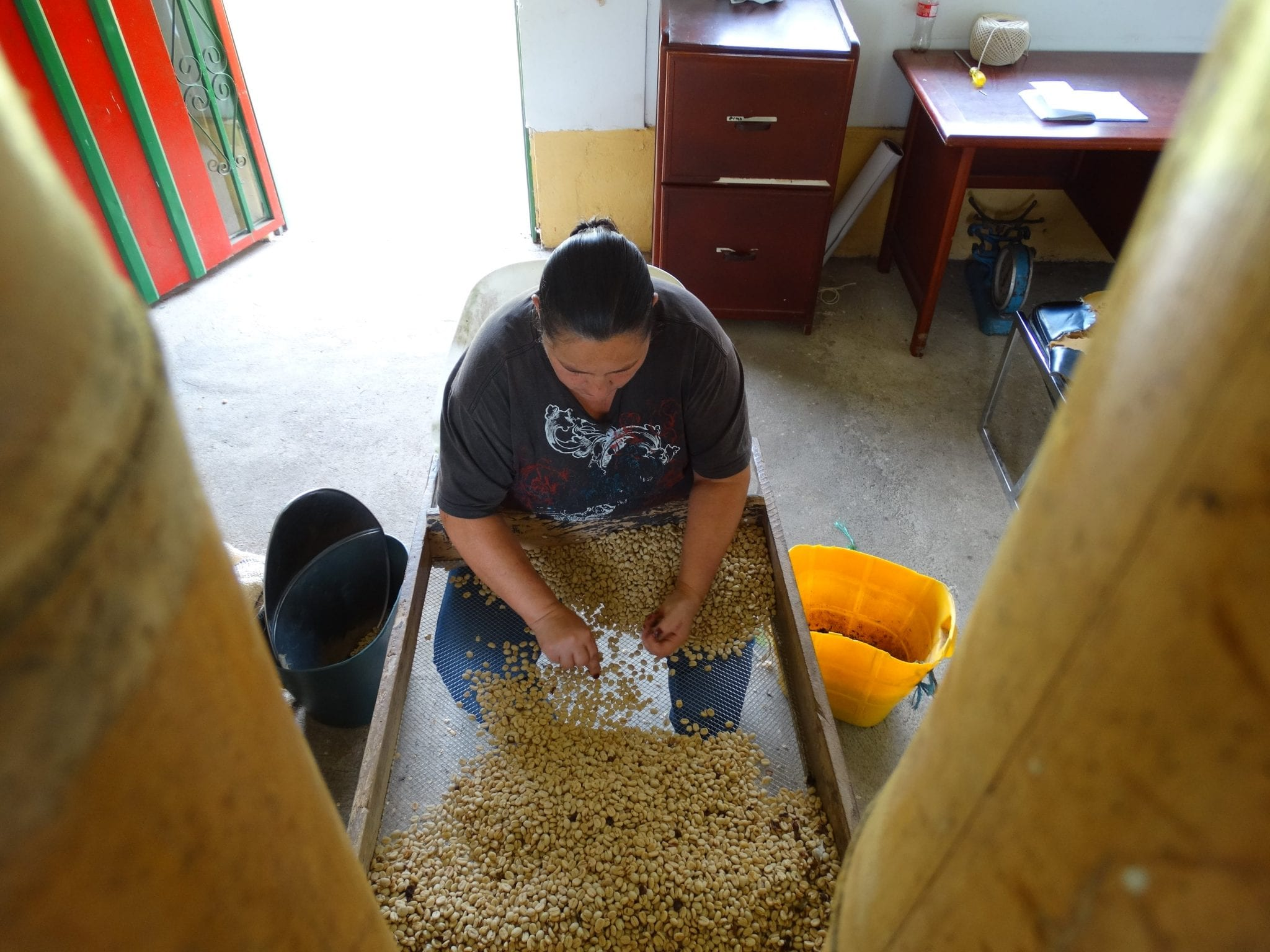Hand-sorting parchment coffee