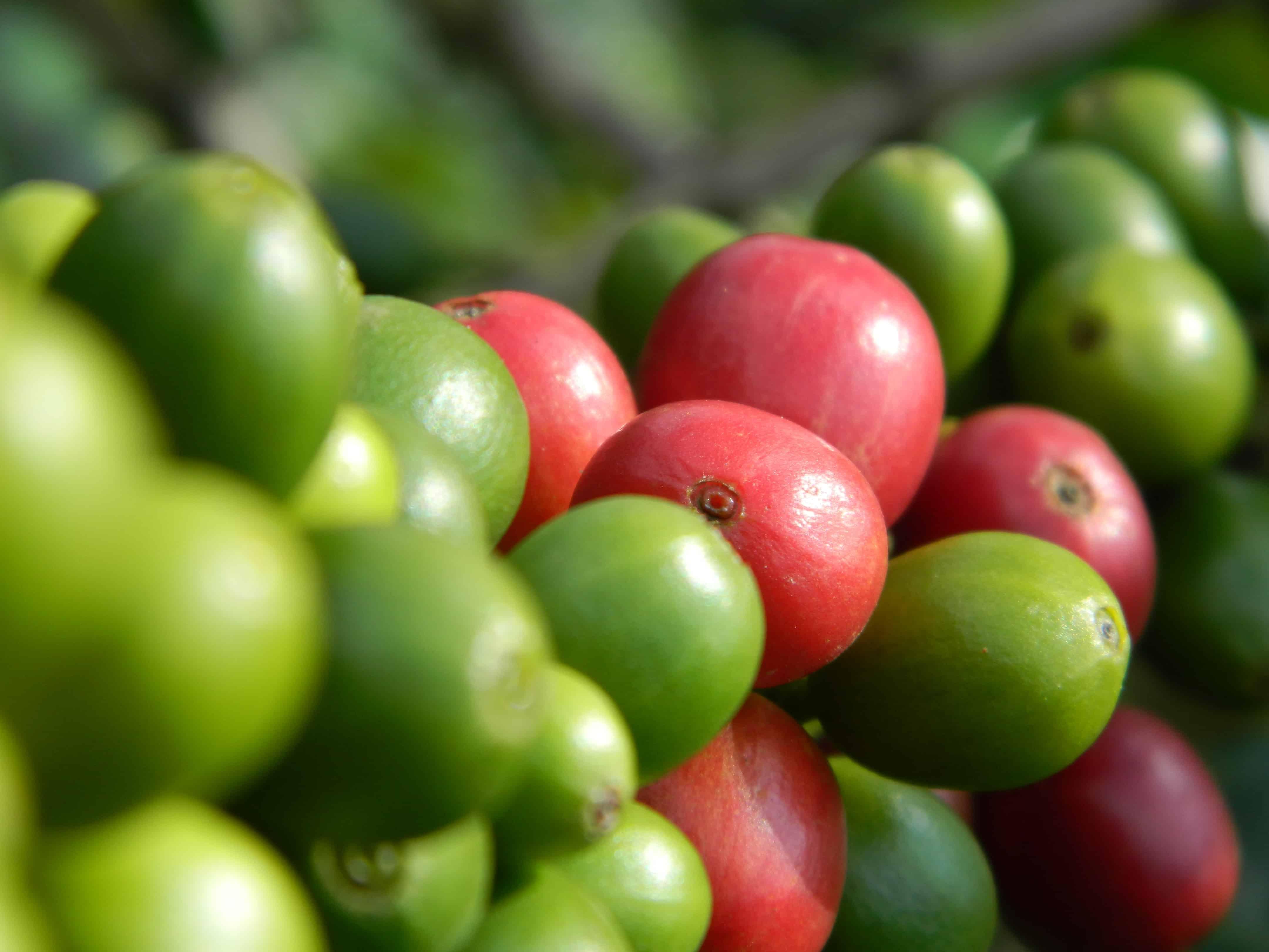 cereza de cafe