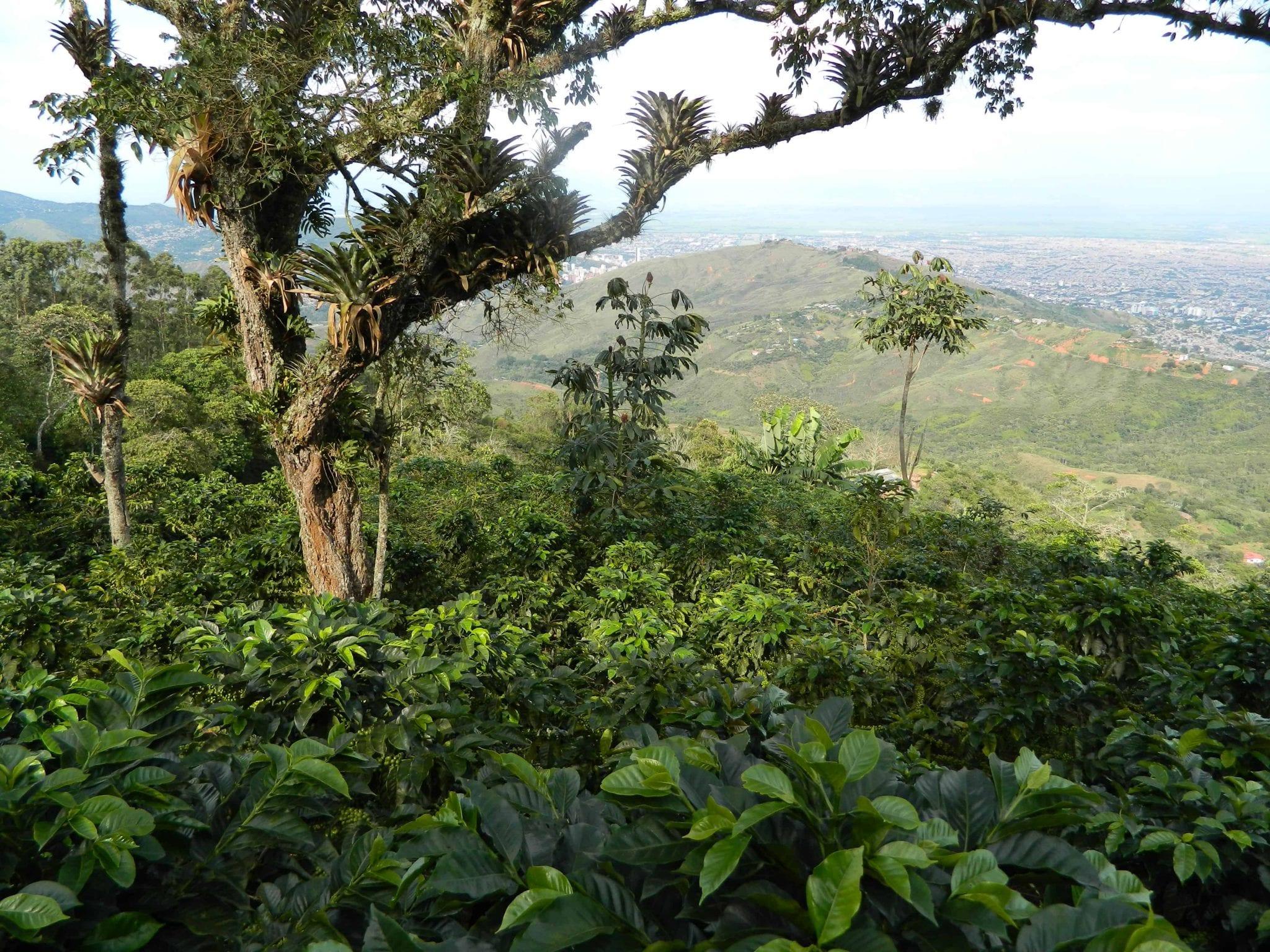 finca de cafe colombiana