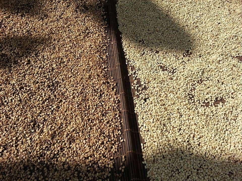 secando cafe honey y lavado