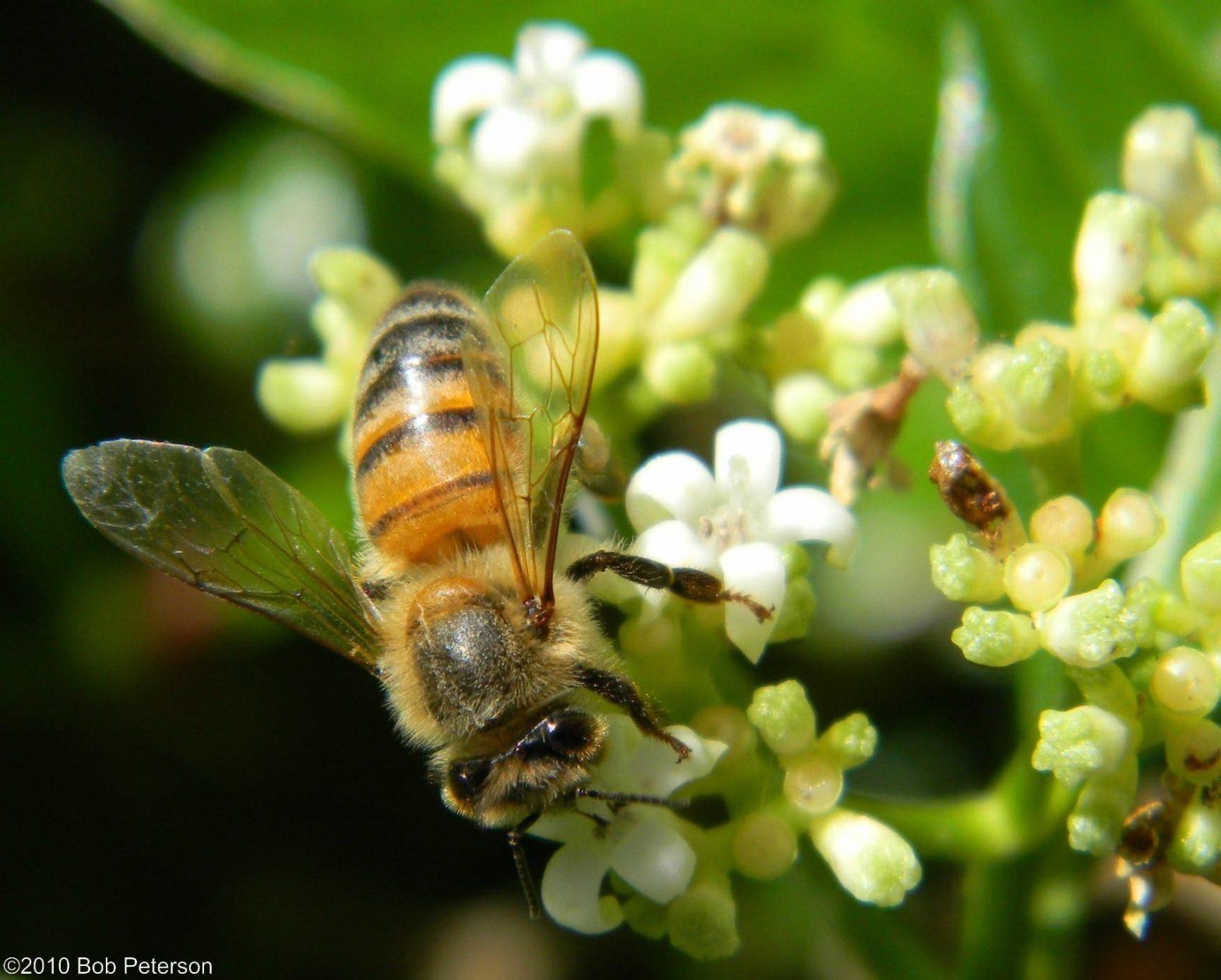 Honey Bee on Wild Coffee