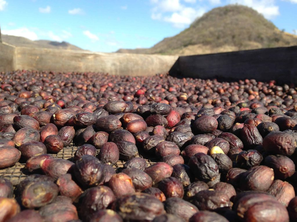 Natural processed coffee drying in african beds