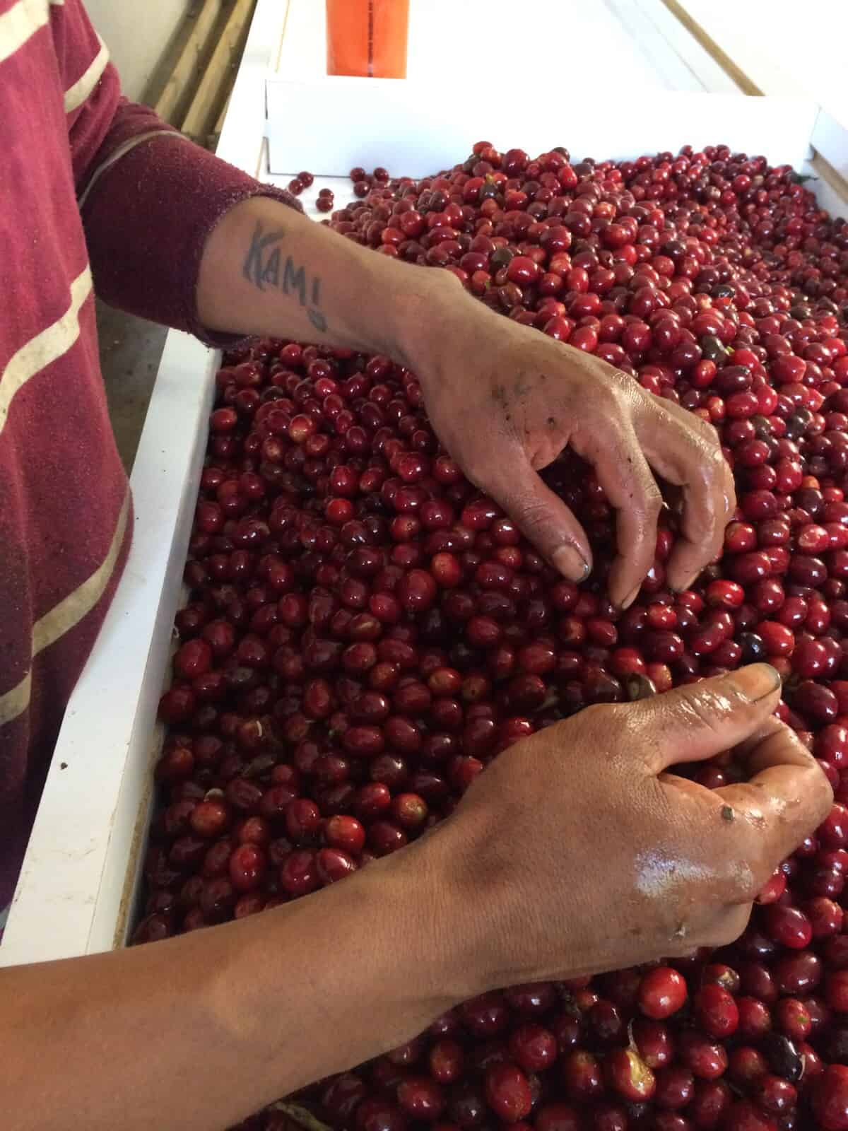 sleeccionando cerezas de cafe