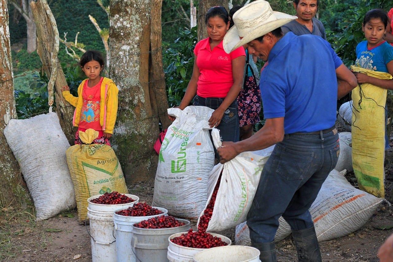 Measuring the amount of ripe coffee