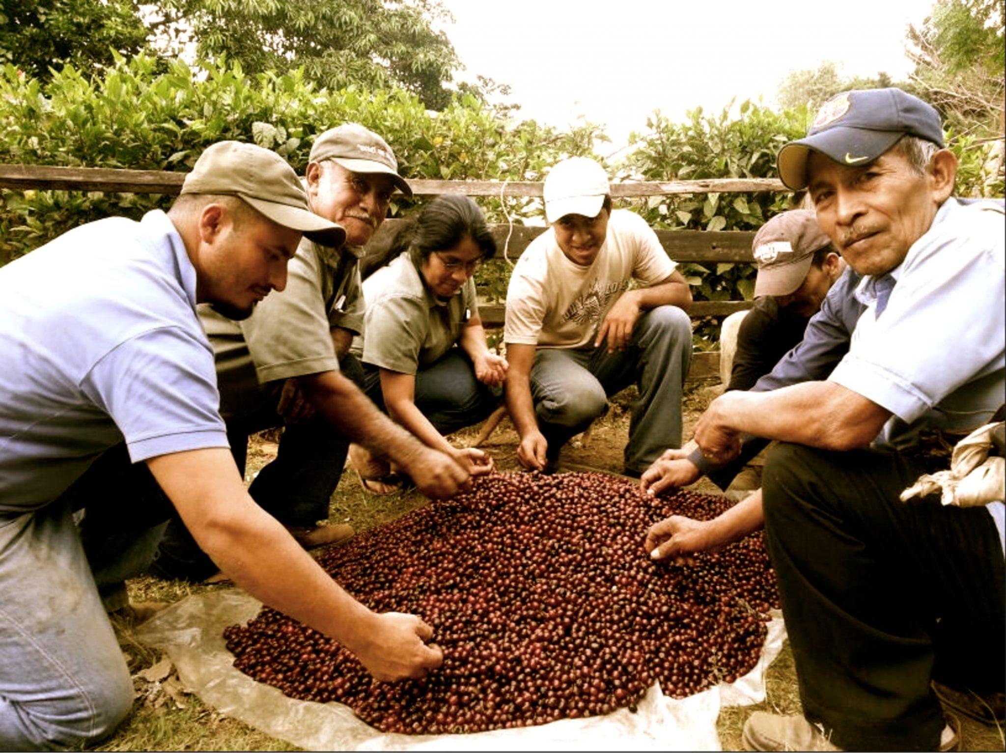 seleccionando granos de cafe