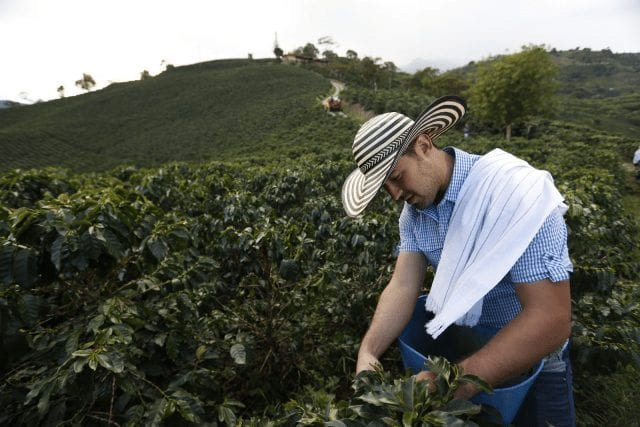 Productor recolectando café