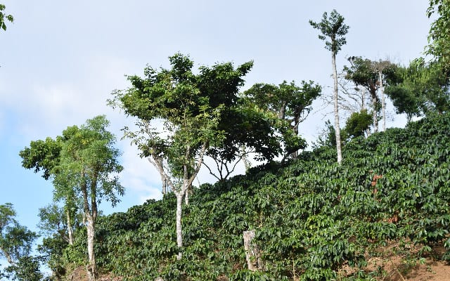Coffee trees at a farm in El Salvador