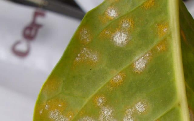 Lecanicillium lecanii fungus attacks the coffee leaf rust