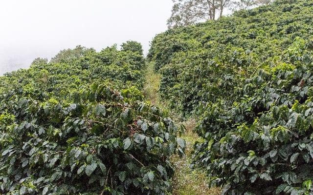Healthy coffee trees
