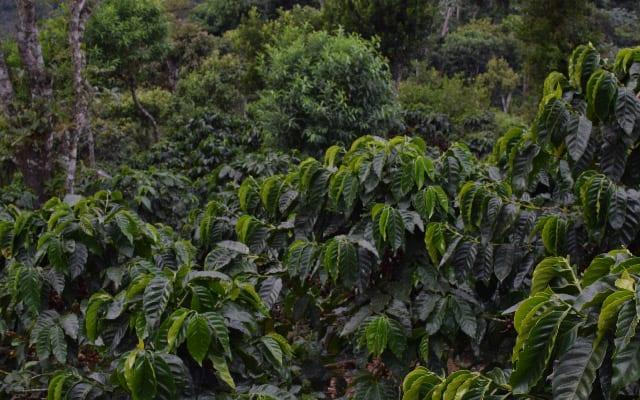 Healthy coffee trees at a farm in El Salvador