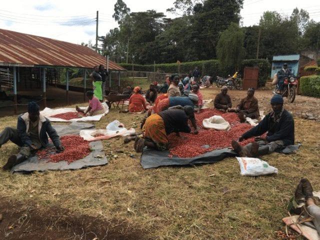 agricultures de cafe en kenia