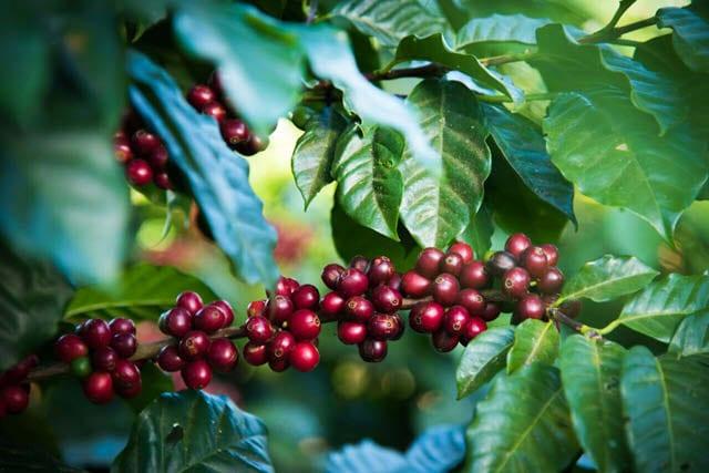 cerezas maduras listas para recolectar