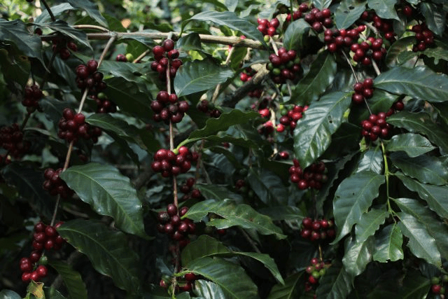 arbol de cafe con cerezas maduras