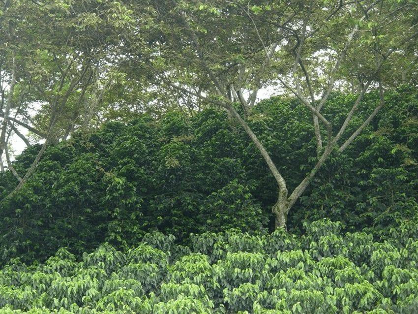 Guía Para Cultivar árboles De Café Saludables Perfect Daily Grind Español
