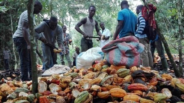 productores de cacao recolectan toda la produccion