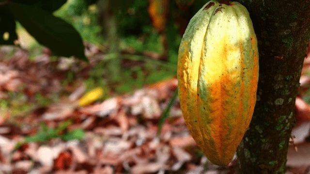 cacao en arbol