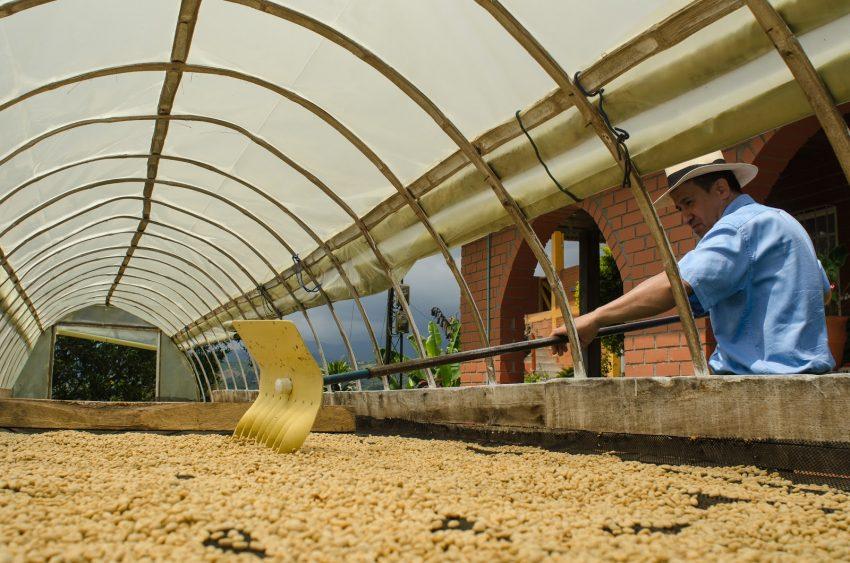 un productor seca su cafe para poder almacenarlo en bolsas