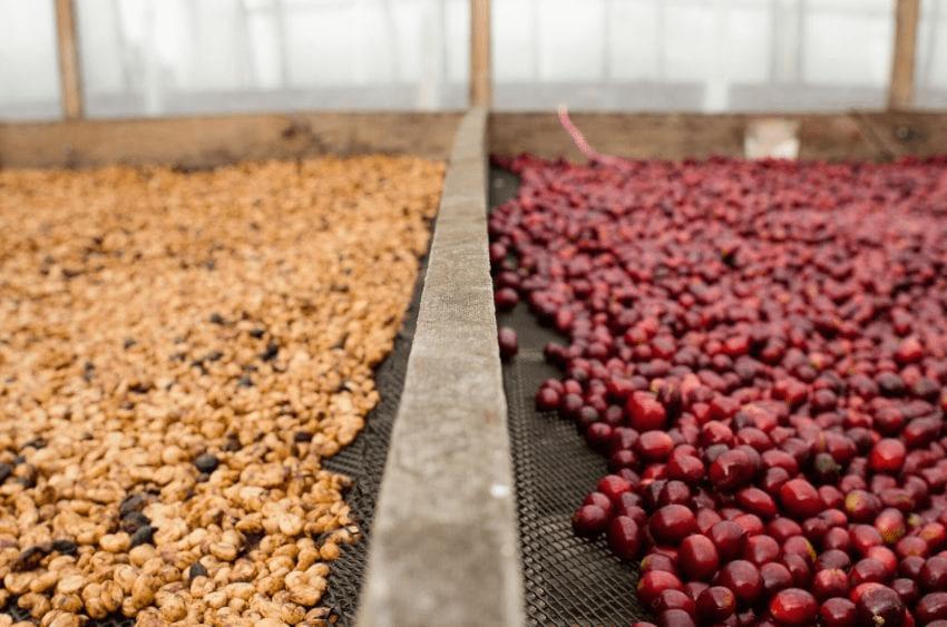 cafe se seca en camas elevadas, proceso honey y natural