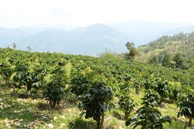 Cultivo de café en filas