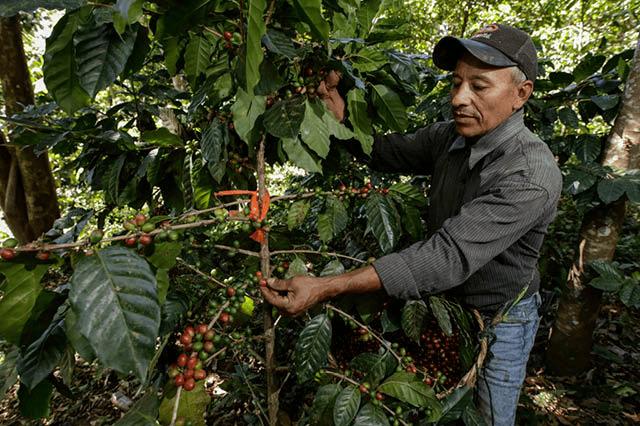 farmer picking coffee cherries from tree