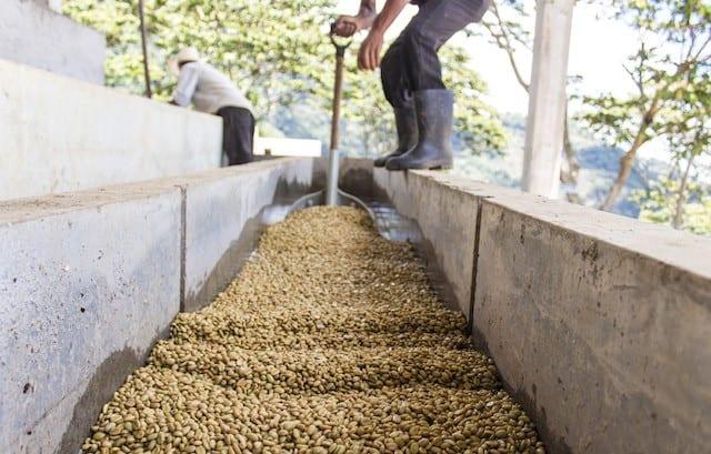 productor mueve los granos de cafe en canales de lavado
