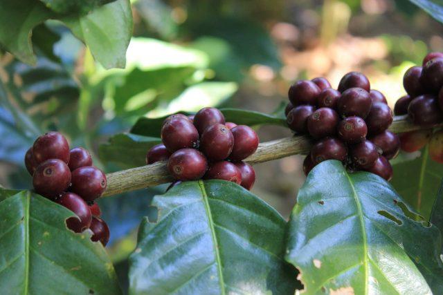 Una rana sobre cerezas de cafe