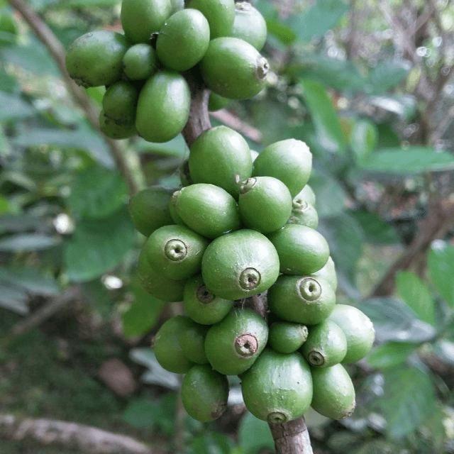 cereza verde de cafe