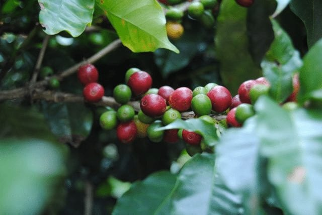 cerezas de cafe