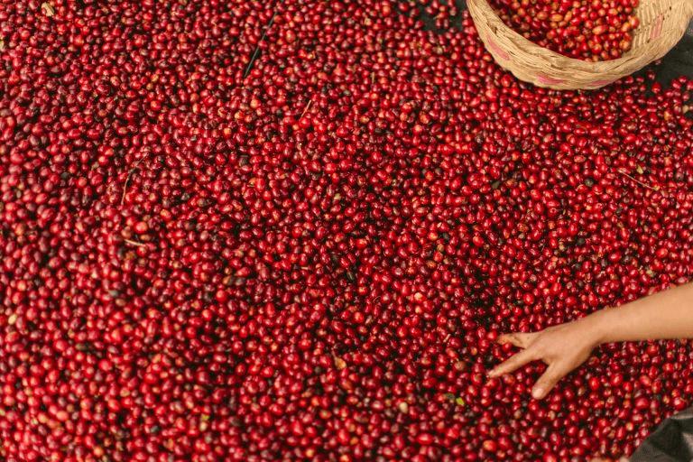 cerezas de cafe se secan en un patio en una finca en Brasil