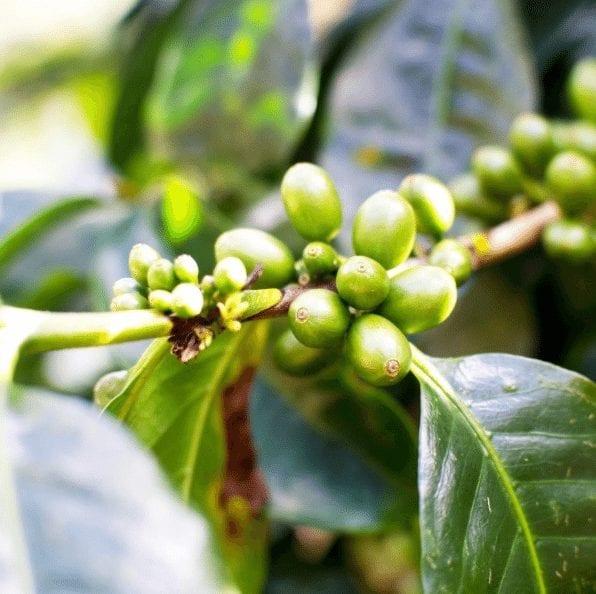 cerezas de cafe verde