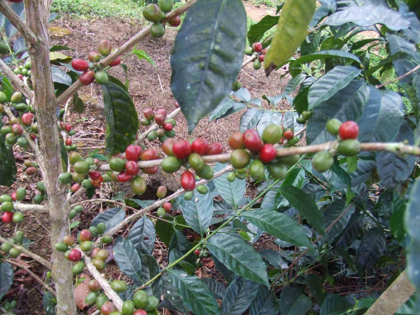 coffeadiversa-3