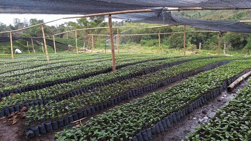 plantulas de cafe en vivero de colombia
