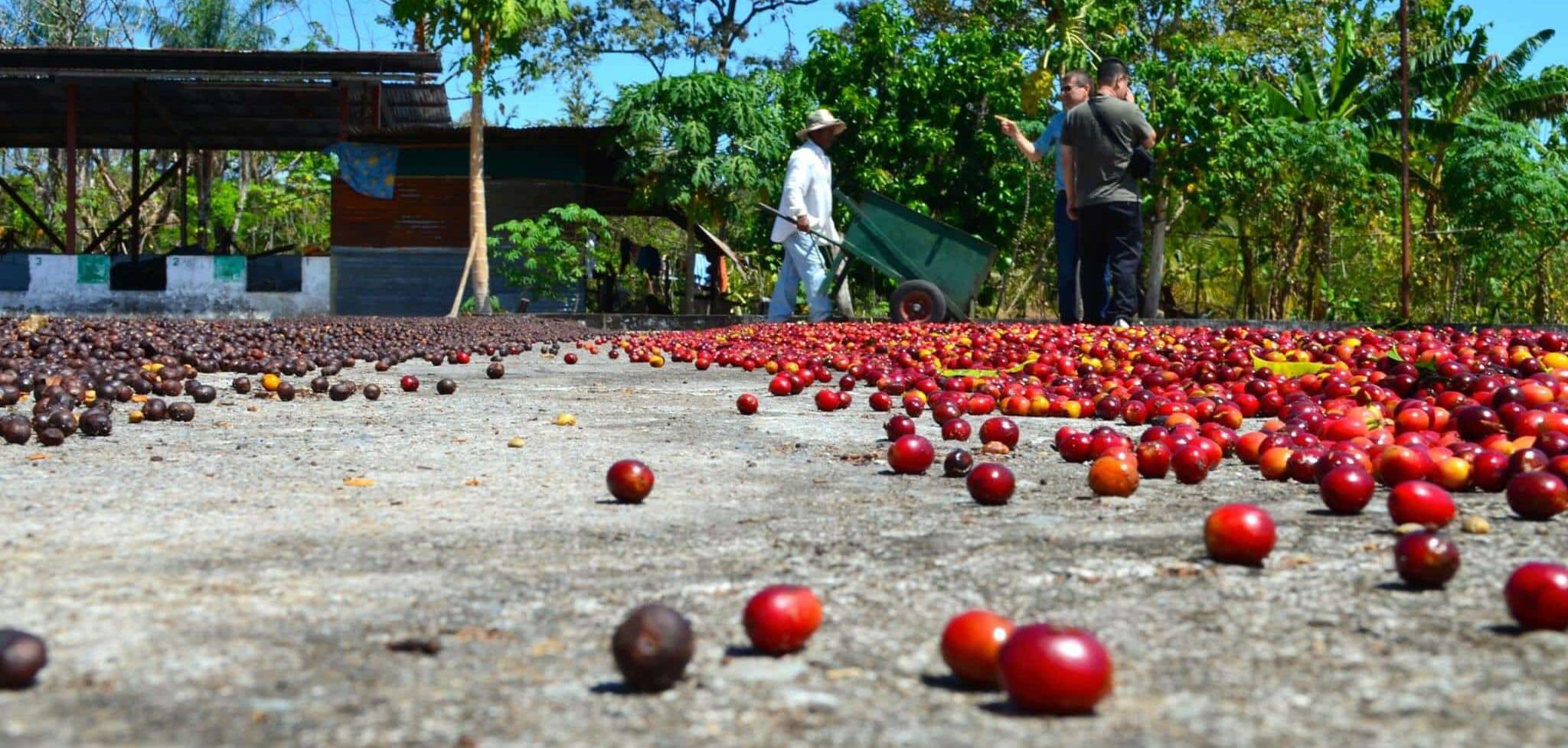 Coffee cherries drying on a patio