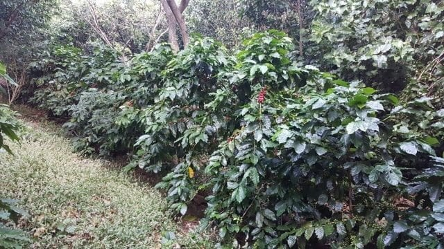 cultivos de cafe en fila