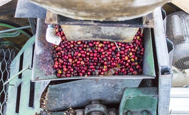 despulpadora de cafe con cerezas de cafe