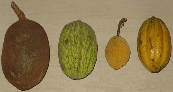 especie de cacao