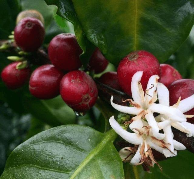 floracion de cafe