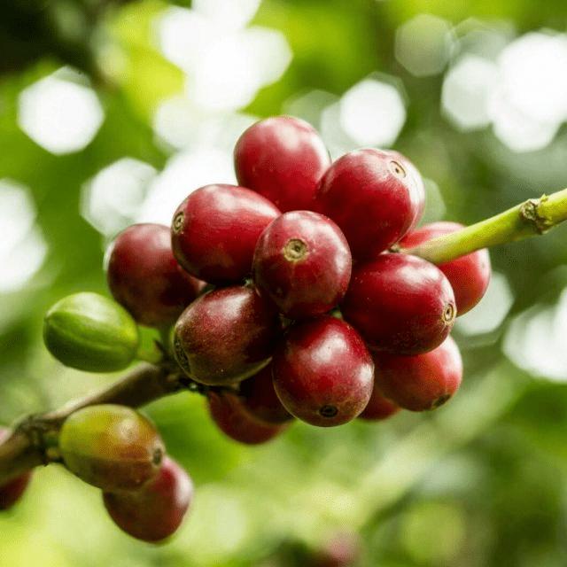 cerezas de cafe en la rama listas para recolectar