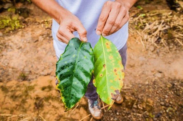 hojas de cafe con la roya