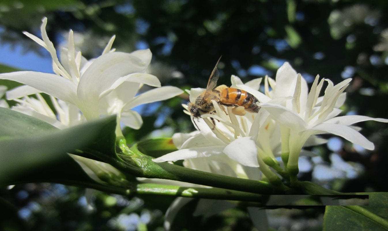 honey bee on coffee flower