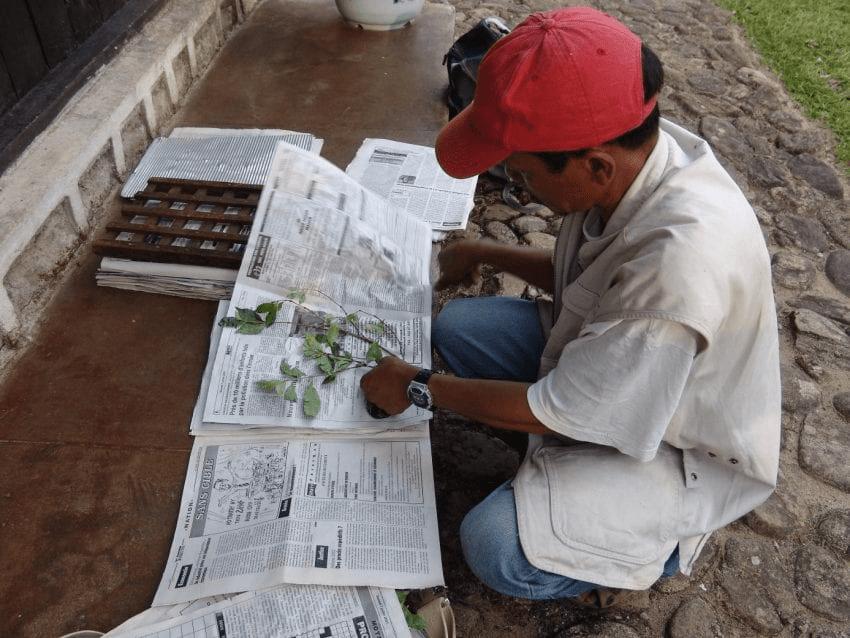 un investigador revisa planta de cafe