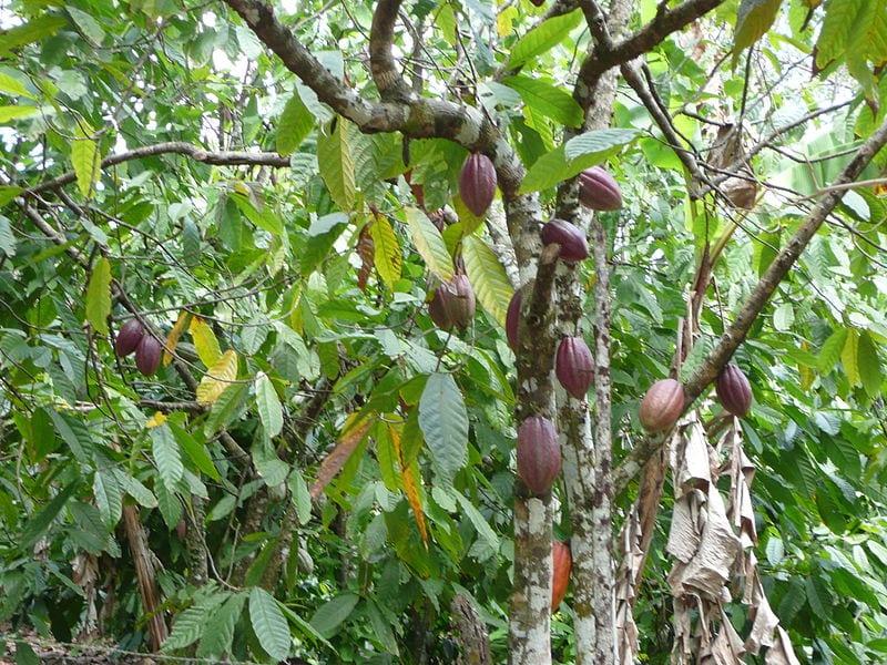 varias vainas de cacao cuelgan de un arbol