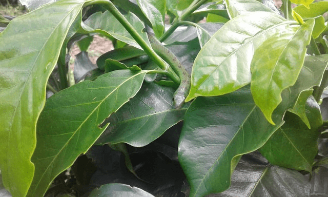 planta de cafe