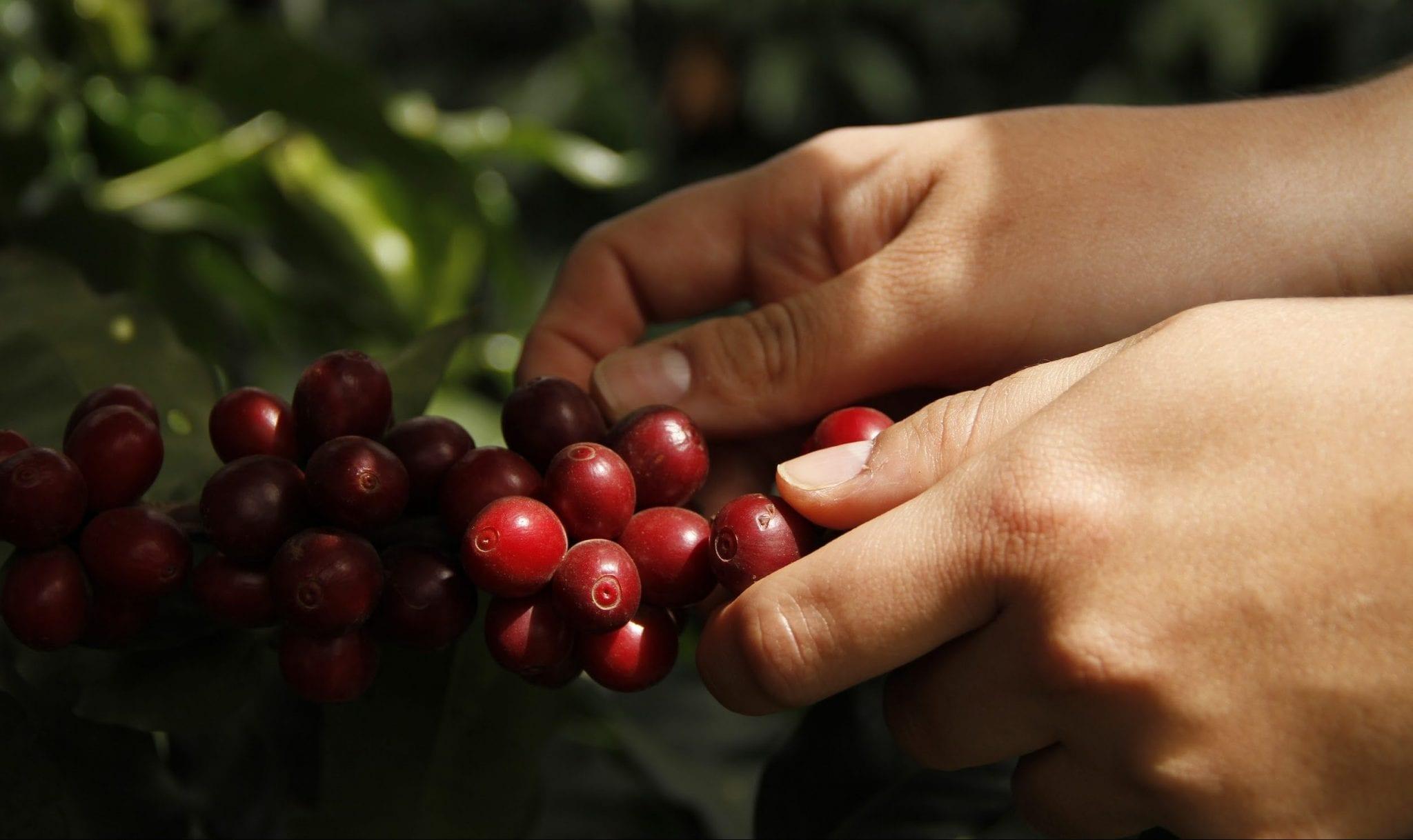 recolector recoge cerezas de cafe maduras