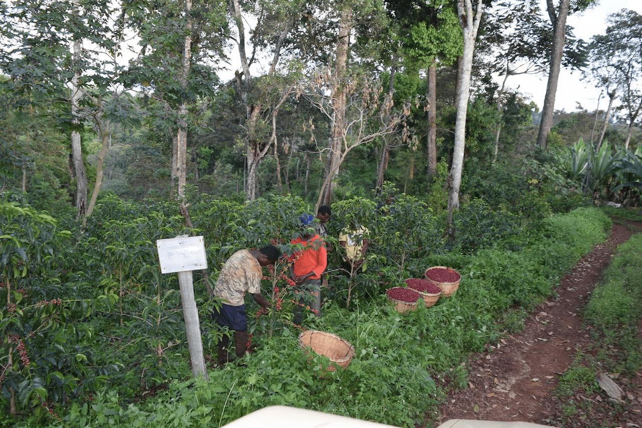 productores de cafe recolectando sus cerezas