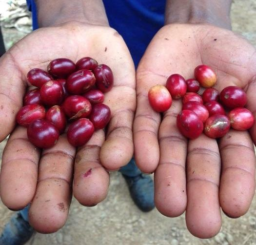 ripe and unripe coffee cherries