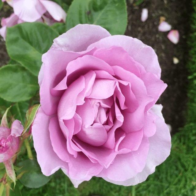 rosa harry edland